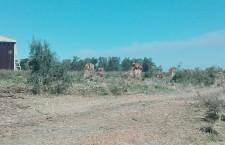 "Augusta. Lo ""scempio"" degli eucaliptos nel parco ex Hangar: la Procura apre un'indagine"