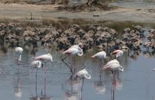 Priolo. Tornano a nidificare i fenicotteri rosa, in 300 nell'oasi delle Saline