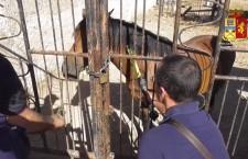 """Corse clandestine di cavalli, controlli in provincia: nelle """"stalle"""" trovati farmaci dopanti, prelevato sangue degli animali"""