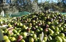 Noto. Ruba 20 chili di olive da un'azienda di contrada Faldino: denunciato giovane di 25 anni