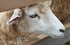 Avola. Controlli negli allevamenti, 201 ovini sequestrati. Multe per 70.000 euro