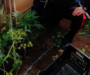 portopalo cannabis serra